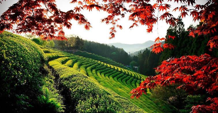 Korea - Tea Farm in Boseong, Jeollanam-do